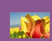 Triumphant Tulip (2008)